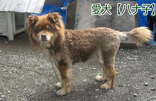 愛犬ハナ子
